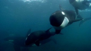 20130604_blackfish_trailer